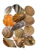 Object Collection: Seashells